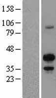 NBL1-12794 - MAFB Lysate