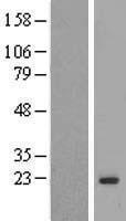 NBL1-12795 - MAFG Lysate