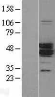NBL1-12799 - MAGEA11 Lysate