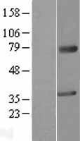 NBL1-12801 - MAGEA2 Lysate
