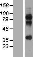 NBL1-12802 - MAGEA2B Lysate