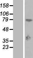 NBL1-12806 - MAGEA9 Lysate