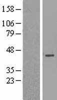 NBL1-12810 - MAGEB3 Lysate