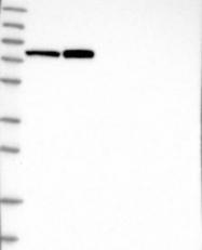 NBP1-89412 - MAGE-D2
