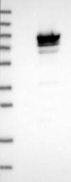 NBP1-89413 - MAGE-D2