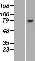 NBL1-12817 - MAGED4B Lysate