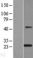 NBL1-13032 - MAGP1 Lysate