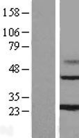 NBL1-13033 - MAGP1 Lysate