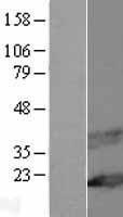NBL1-12829 - MAL Lysate