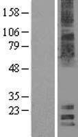 NBL1-12830 - MAL2 Lysate