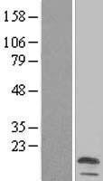 NBL1-12831 - MALL Lysate