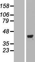 NBL1-13168 - MAP1 Lysate