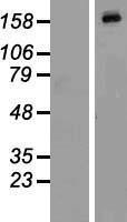 NBL1-12861 - MAP4K4 Lysate
