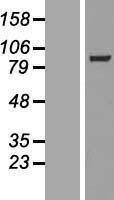 NBL1-12862 - MAP4K5 Lysate