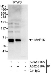 NBP1-47282 - Microtubule-associated protein 1S
