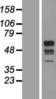 NBL1-07138 - MARCH10 Lysate