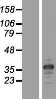 NBL1-07001 - MARCH8 Lysate