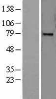 NBL1-12900 - MARK4 Lysate