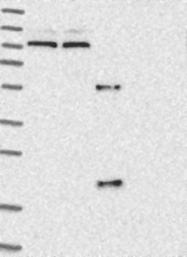 NBP1-81258 - MASP-2