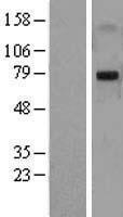 NBL1-12906 - MASP2 Lysate