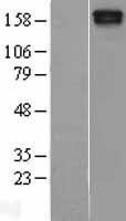 NBL1-12907 - MAST205 Lysate