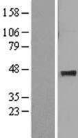 NBL1-12909 - MAT1A Lysate