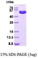 NBP1-40408 - MAT1A