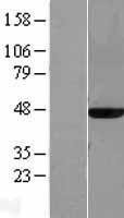 NBL1-12910 - MAT2A Lysate