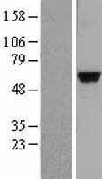NBL1-12914 - MATK Lysate