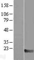 NBL1-12919 - MAX Lysate