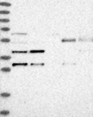 NBP1-86761 - C6orf150