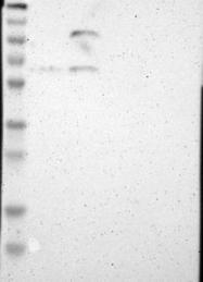 NBP1-81547 - MBTPS1