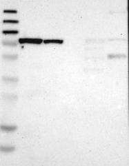 NBP1-81254 - MCCC1