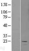 NBL1-12946 - MCEE Lysate