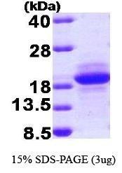 NBP1-37074 - MCFD2