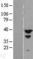 NBL1-14145 - MCG10 Lysate