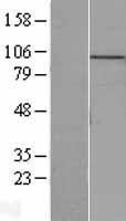 NBL1-12948 - MCM10 Lysate