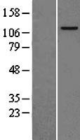 NBL1-12950 - MCM2 Lysate