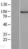 NBL1-12951 - MCM3 Lysate