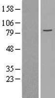 NBL1-12954 - MCM5 Lysate