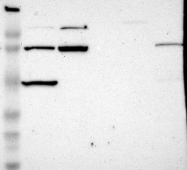 NBP1-85721 - MCM7