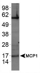 NBP1-07034 - MCP1 / CCL2