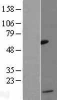 NBL1-08843 - MCP4 Lysate