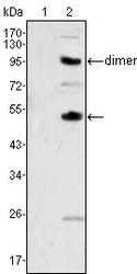NBP1-47472 - M-CSF / CSF-1