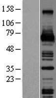 NBL1-09513 - MCSF Lysate