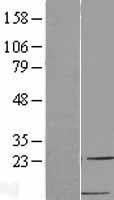 NBL1-08852 - MDC Lysate