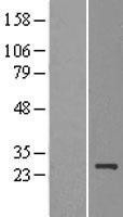 NBL1-09943 - MDG1 Lysate
