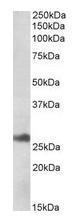 NBP1-78785 - DNAJB9