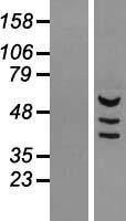 NBL1-12965 - MDH1B Lysate