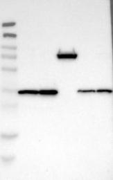NBP1-86036 - MDH2